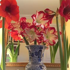 My amaryllis are show-stopping this year!  Glad I planted them every two weeks for continuous blooms throughout the season❤️.