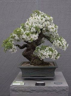 BonsaiBonsai More Pins Like This At FOSTERGINGER @ Pinterest