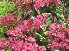 Honey bees on nothing in the garden but the sedum in flower