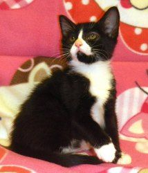 Rue is an adoptable Domestic Short Hair-Black And White kitten in Douglasville, GA. Rue is one of our 'Hunger Games' kittens. They were rescued when they were just 2 weeks old, so they had to be bottle-f...