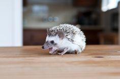 Adorable Baby Hedgehogs (PHOTOS)