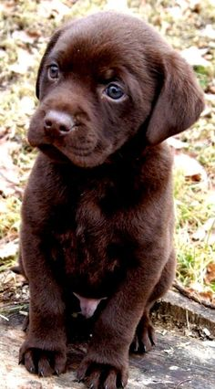 Chocolate Labrador Puppy ♥ I have to get one of these little guys!! They are so so cute!!! Maybe someone will gift me one!!