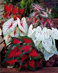 Canna seeds Black flower seed Perennial indoor or outdoor plants potted Large leaf flowering Bonsai plant for home garden love the hint of red Container Flowers, Container Plants, Container Gardening, Bonsai Plants, Garden Plants, House Plants, Caladium Garden, Shade Garden, Flower Seeds