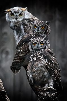 Owls by Marcus Pusch