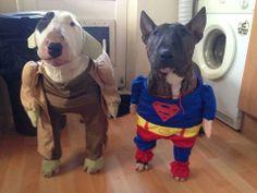 Costumed bull terriers. Love it. #superman #yoda