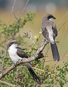 """Shrikes are known for their habit of catching insects and small vertebrates and impaling their bodies on thorns. This helps them to tear the flesh into smaller, more conveniently-sized fragments..."""