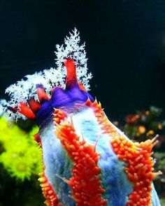 Sea apple-a type of sea cucumber