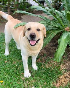 Labrador Retrievers, Labradors, Green Grass, Happy Dogs, Labs, Cute Dogs, Dogs And Puppies, Patches, Magic