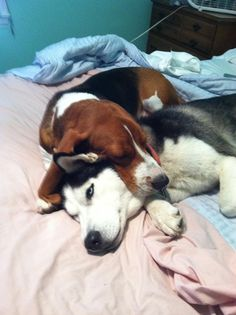 """""""Adopted my brother in law's Basset Hound... She immediately took to my Husky."""""""