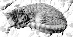 Title  Sleepy Kitty  Artist  Lilliana Mendez  Medium  Photograph - Photographs