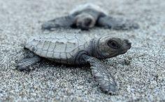 Una diminuta tortuga marina inicia su camino rumbo al mar tras nacer en una playa de Morong, Filipinas (Noel Celis, 2016)