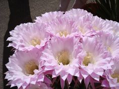 Living Desert Zoo and Gardens State Park - Carlsbad, NM  #newmexicostatepark #cactus #pink