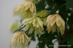 Clematis koreana AMBER ('Wit141205') is resistant to Clematis wilt - it's a very easy to grow Clematis.