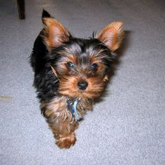 YORKSHIRE TERRIER THIS LOOKS EXACTLY LIKE MY RILEY RAY!