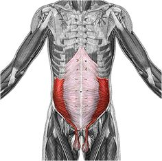 transverse abdominis - Αναζήτηση Google