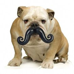 I mustache you a question, bulldog.do you like your new chew toy? But your dog will look awesome with this mustache chew toy! Funny Dog Toys, Dog Chew Toys, Pet Toys, Funny Dogs, Large Dogs, Small Dogs, Small Puppies, Mustache Dog, Handlebar Mustache