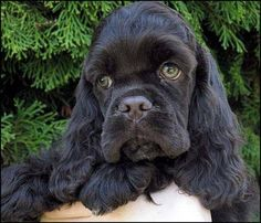 Love black Cocker Spaniels, prefer English Cocker's, but this is a beautiful face ! !