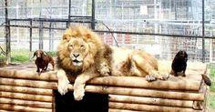 Thả 4 cún cưng 5.5kg vào chuồng an ủi vua sư tử 250kg chuyện gì sẽ xảy ra?