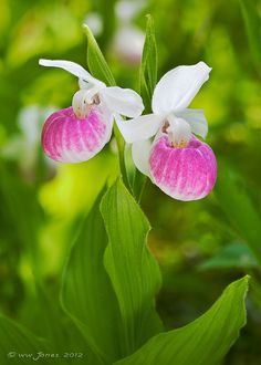 Showy Lady's Slippers  These grow wild in Minnesota. I had these growing wild on my farm, they are absolutely beautiful and each one is perfect.