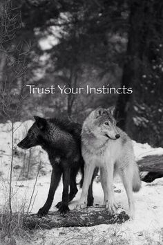 Trust Your Instincts--Gray Wolves--Wolf Den Shared Infinitely Wolves Photo <<-- good grief, I thought it was GoT advertisement at first
