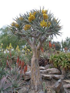 Aloe dichotoma, Balboa Park, San Diego (por amarguy )