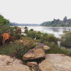 #vacas #pajaros y #bobitasvistas de un #rio en #india ... #cows #birds and #nice #views in front of a #kerala #river