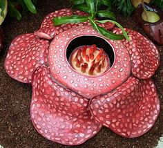Rafflesia arnoldii; the largest flower in the world. It can grow to 3 feet  across and weigh up to 11 kilos. It is found growing on the jungle floor in the rainforests of Indonesia, Malaya, Borneo, Sumatra, and the Philippines.