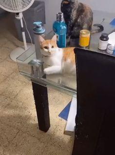 Funny Animal Memes, Funny Cat Videos, Cute Funny Animals, Funny Animal Pictures, Cute Baby Animals, Cat Memes, Funny Cute, Funny Dogs, Cute Cats