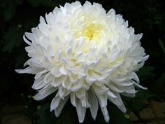 White chrysanthemum --Truth