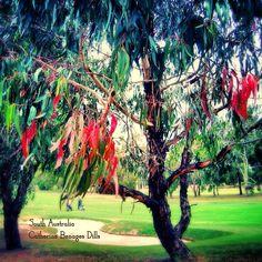 Eucalyptus tree, Golf course, South Australia.