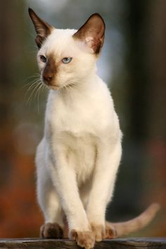 Classic Siamese Cat - I'm so lucky that my parents have had these cats all my life... they are so beautiful but so is my lilac cornish rex :-)