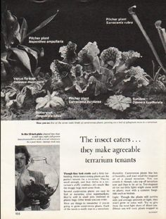 """1976 CARNIVOROUS PLANTS vintage magazine article """"The insect eaters"""" ~ The insect eaters ... they make agreeable terrarium tenants - Pitcher plant - Venus fly trap - Butterwort - Sundew ~ Size: The dimensions of each page of the two-page article are approximately 8.25 inches x 11 inches (21 cm x 28 cm). Condition: This original vintage two-page article is in Excellent Condition unless otherwise noted."""