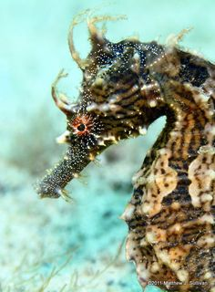 Cool Fish - Hot Water, why seahorses are swimming north