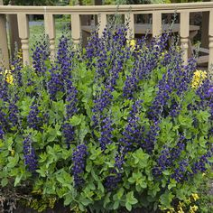 Proven Winners - Decadence® 'Sparkling Sapphires' - False Indigo - Baptisia hybrid blue purple plant details, information and resources. Unique Flowers, Colorful Flowers, Blue Flowers, Purple Plants, All Plants, Proven Winners, Agapanthus, Planting Bulbs, Seed Pods