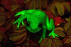 #Une grenouille révolutionne les connaissances sur la fluorescence - LaPresse.ca: LaPresse.ca Une grenouille révolutionne les connaissances…