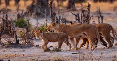 Morning walk - Young Lion going for a morning walk with their family. Savuti, Botswana. Early morning light in Africa is stunning, combine that with hanging out with wild lions for an hour makes an unforgettable experience.