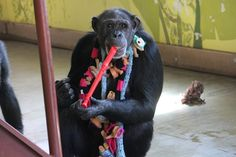 JAMIE THE MUSIC MAKER: If you are going to be a musician, you might as well dress the part! Sanctuary is about CHOICES. Discover what life in a chimpanzee sanctuary is all about: http://www.chimpsanctuarynw.org/blog/