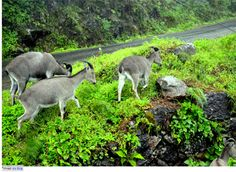 Eravikulam National Park in Munnar Kerala