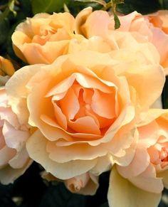 De bästa rabattrosorna – experternas val - Växtforum Beautiful Roses, Flowers, Plants, Rostock, Flora, Royal Icing Flowers, Floral, Plant, Florals