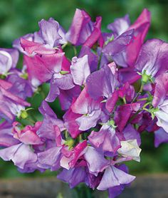 Sweet Pea, Enchante - Sweet Peas at Burpee.com