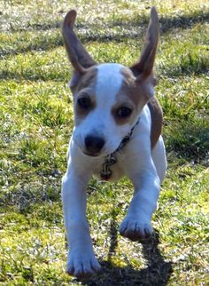 Jello the Beagle Mix