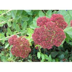 Grand sedum à fleurs rose après l'été.