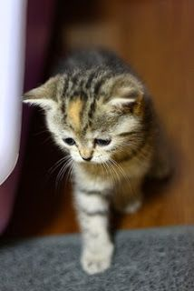 Most Used American Shorthair Cat Names Click the picture to see