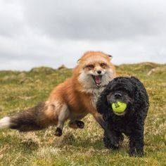 """everythingfox:""""DOGE, COME BACK HERE WITH MY BALL!""""Ayla the Fox  everythingfox :   """"DOGE, COME BACK HERE WITH MY BALL!""""     Ayla the Fox"""