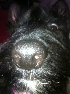 Crazy Macie Jane  Scottish Terrier