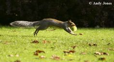 Squirrel with sweet chestnut