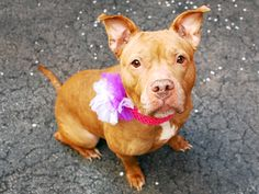 RIP TO BE DESTROYED 05/18/15 TO BE DESTROYED 05/16/15 JADA - A1034960 - - Manhattan TO BE DESTROYED 05/14/15 A volunteer writes: Her name means 'to know' and this calm, friendly girl really does have an air of wisdom about her but it's Jada's silly side that made me fall truly, madly, deeply in love. She's pretty much amazing at everything from walking (at the perfect pace) to greeting other dogs (with low-key friendship) http://nycdogs.urgentpodr.org/jada-a1034960/