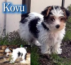 Kovu - AKC Parti Yorkshire Terrier Biewer Yorkie Puppy -Ready Now