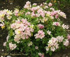 Full size picture of Shrub Rose 'Yellow Butterfly' (Rosa)