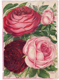 vintage photo albums from 1800's | Vintage Ad Rose's Flower From Nature 1800's (Vintage Seed Packages and ...